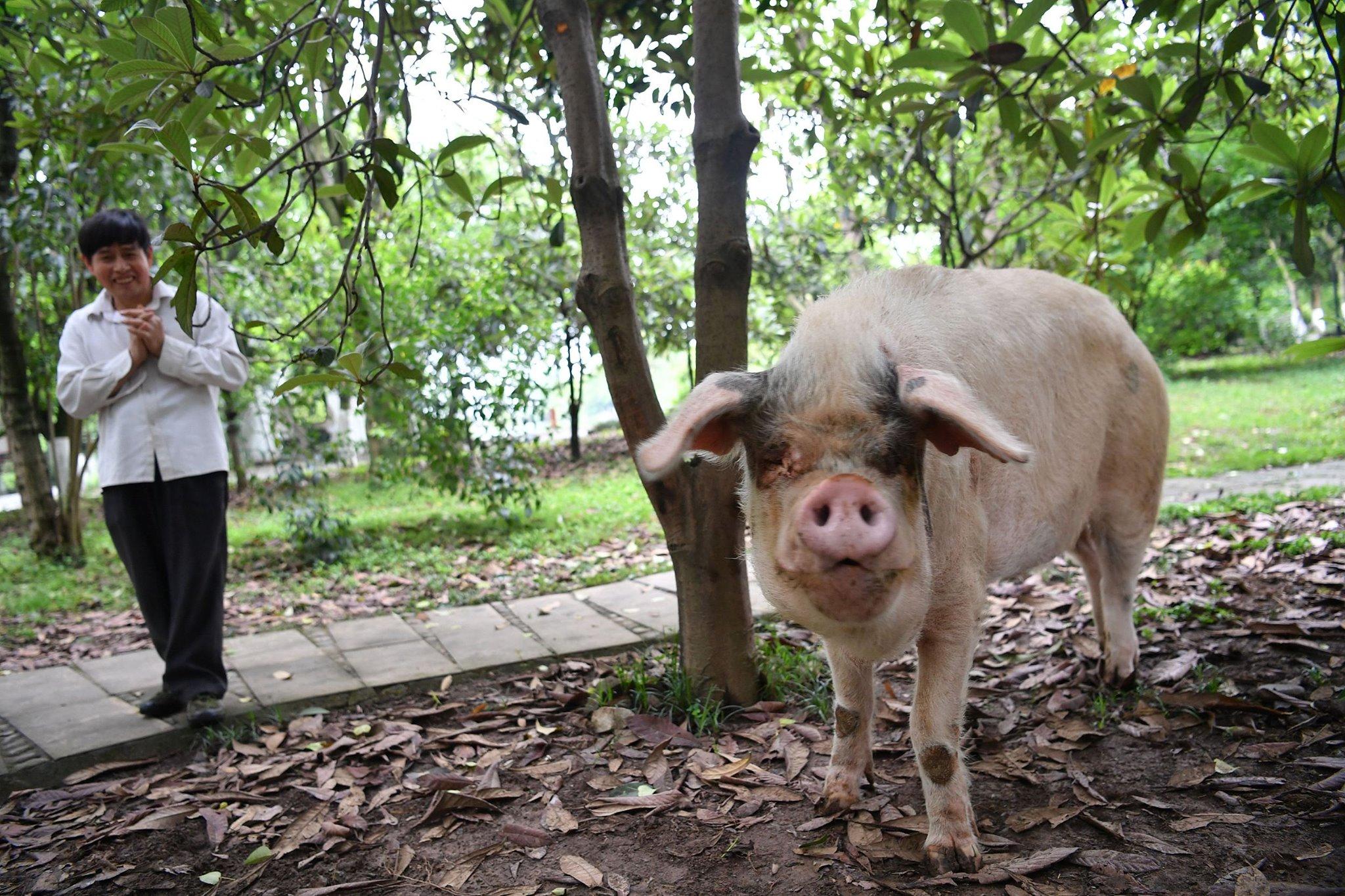 Умерла самая волевая свинья Китая