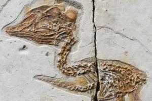 В Китае нашли окаменелость крошечной птицы с черепом тираннозавра