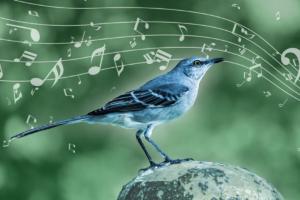 Пересмешник не копирует чужие песни: он создает свои