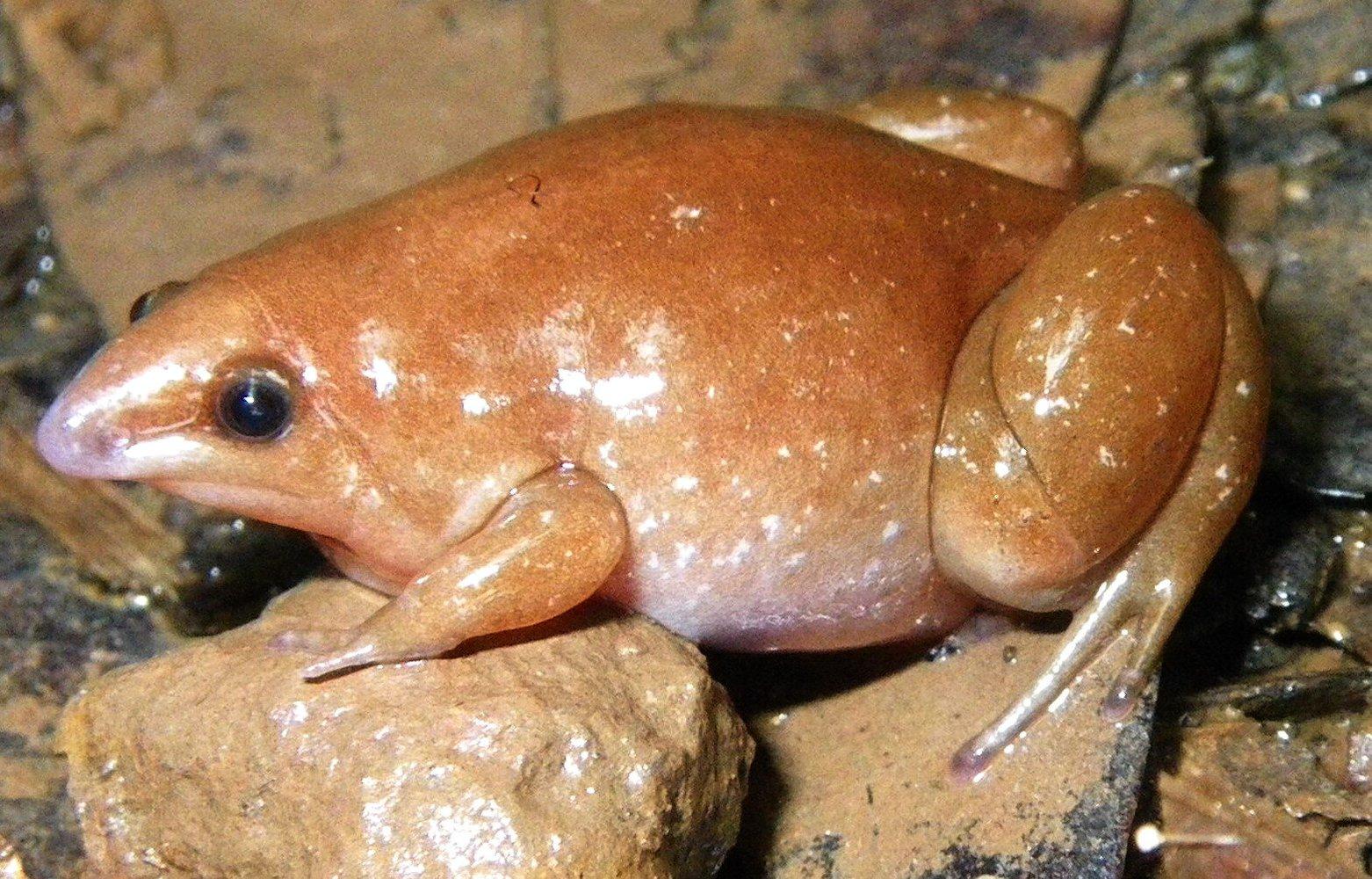 В Амазонии открыли новый вид зомби-лягушек.Вокруг Света. Украина