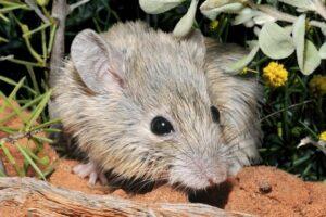 Вымершую австралийскую мышь нашли спустя 160 лет после исчезновения