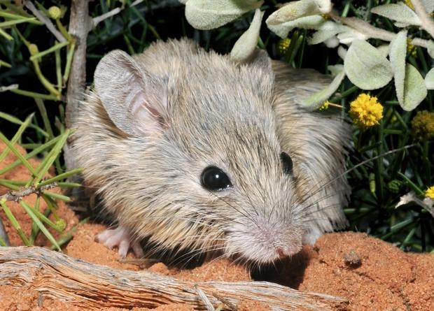 Вымершую австралийскую мышь нашли спустя 160 лет после исчезновения.Вокруг Света. Украина