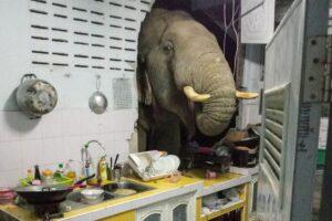 Чем у вас так вкусно пахнет? В Таиланде голодный слон проломил стену дома