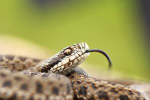 Змеи Украины: ядовитые и безвредные, виды и фото