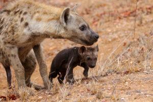 Зараженные токсоплазмой детеныши гиены сами отправлялись в пасть львам