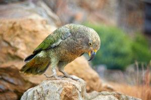 Новозеландские попугаи переселились в горы, чтобы не видеть людей