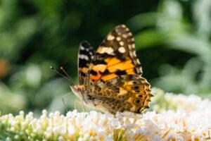 Бабочки-репейницы поставили рекорд дальности полета для насекомых