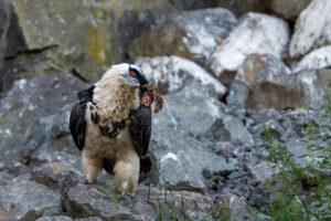 В Австрии впервые в мире птице установили бионический протез