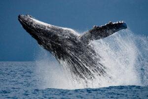 В США кит проглотил ныряльщика, но закончилось все хорошо