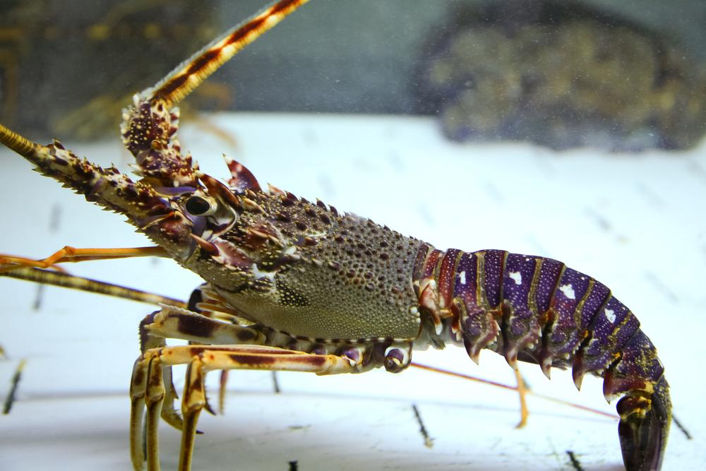 В Великобритании защитят чувства осьминогов и омаров