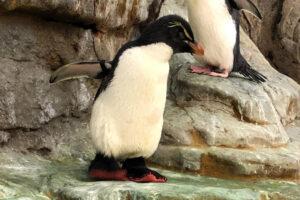 В США старому пингвину с больными ногами сделали ботинки