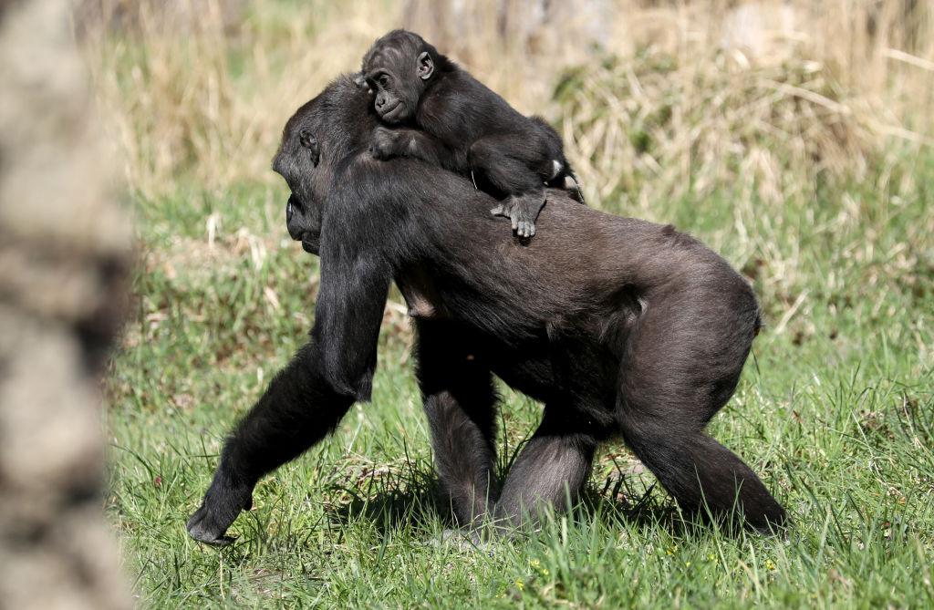 Через 30 лет в Африке почти не останется места для шимпанзе и горилл - даже в национальных парках
