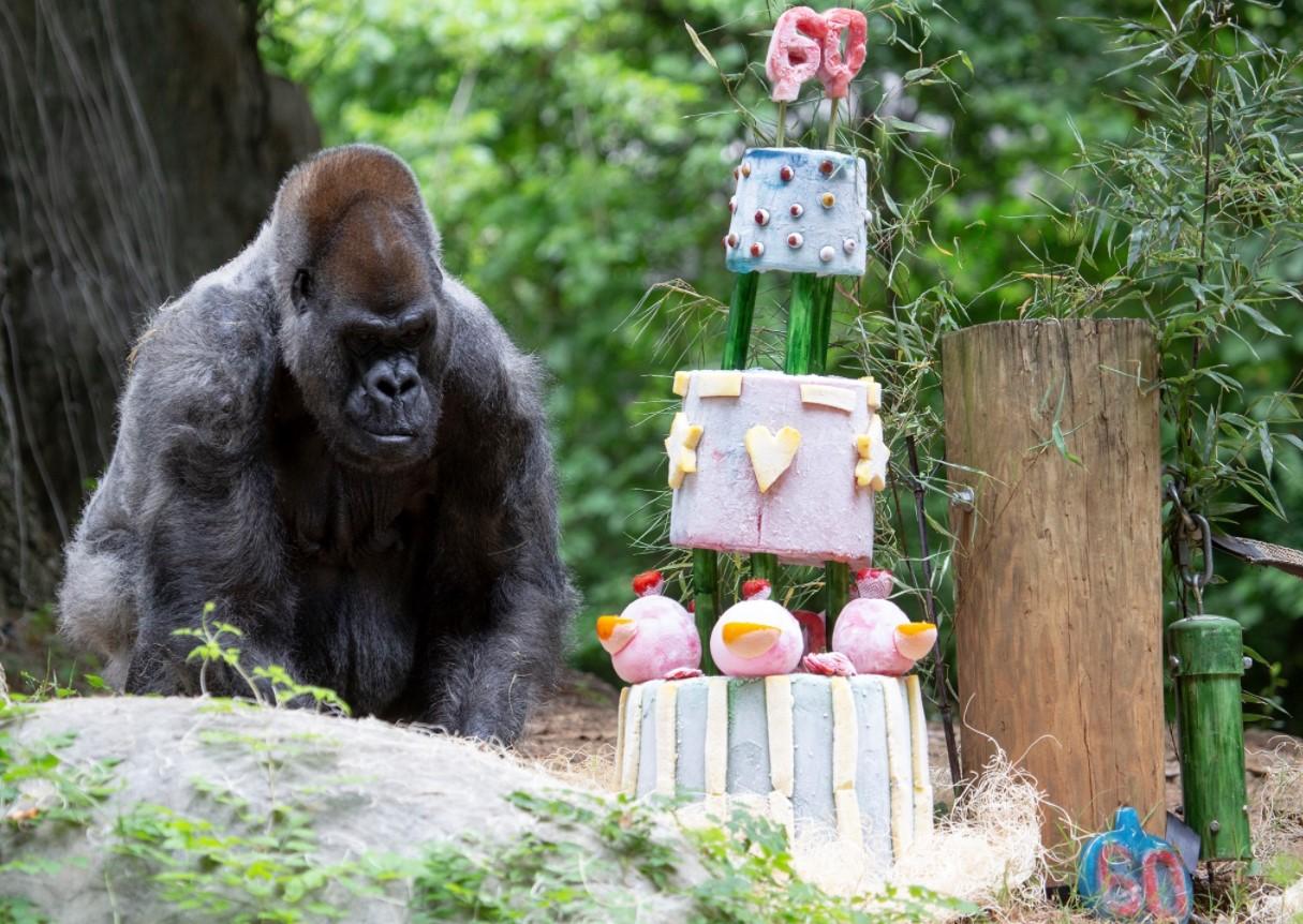 Самая старая горилла в мире отметила 60-летие