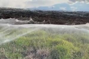 Пауки в Австралии сплели гигантские километровые сети после наводнения. Зачем они это делают?