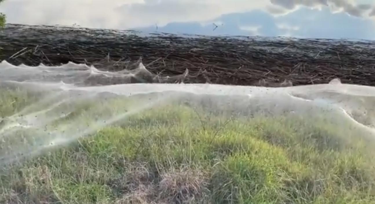Пауки в Австралии сплели гигантские километровые сети после наводнения. Зачем они это делают?.Вокруг Света. Украина