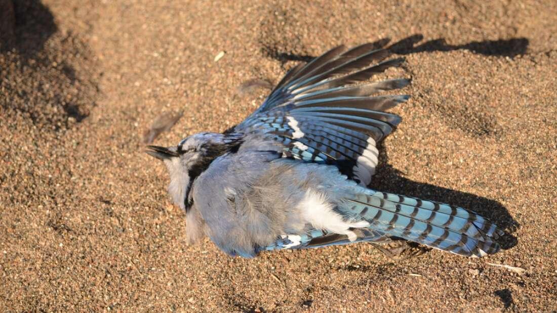 Сотни птиц умирают по всей Америке, и никто не знает, почему.Вокруг Света. Украина