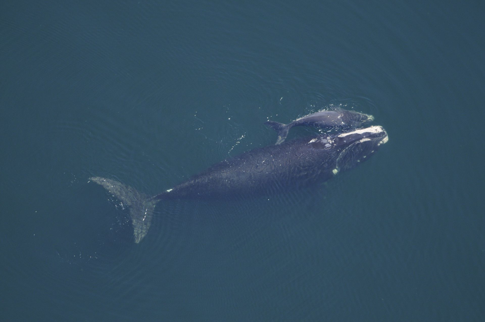 Южные киты уменьшились в размерах из-за человека.Вокруг Света. Украина