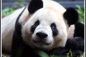 В зоопарке Токио  панда впервые родила двойню