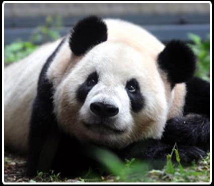 В зоопарке Токио  панда впервые родила двойню.Вокруг Света. Украина