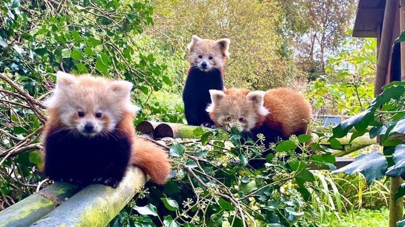 В зоопарке Острова Мэн красная панда родила, несмотря на противозачаточные