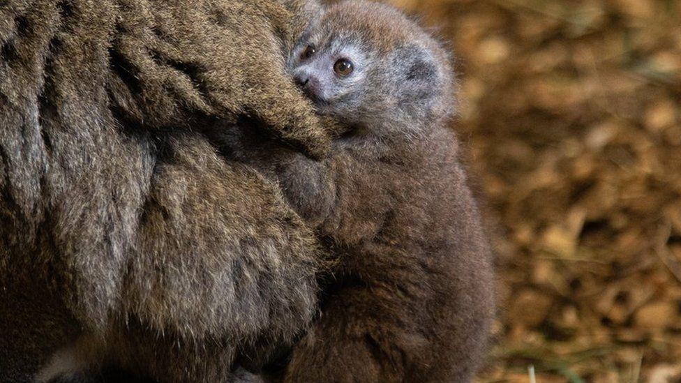 В Англии родился редкий алаотранский нежный лемур