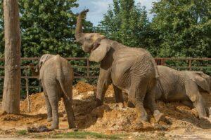 Стадо слонов переселят из Англии в дикую природу Африки
