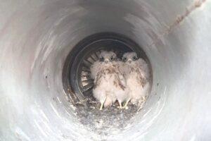 В Уэльсе спасли птенцов пустельги, облюбовавших сопло самолета