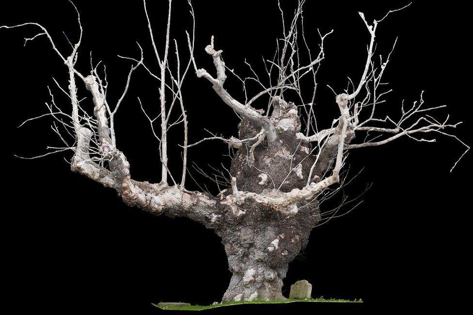 Старейший вяз Европы убивает опасная болезнь. Дереву 800 лет