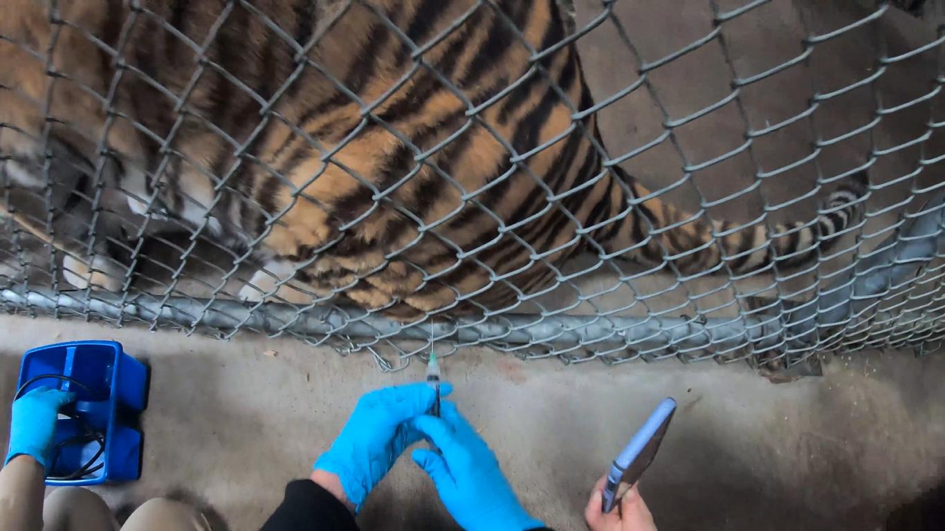 В США животных в зоопарках начали вакцинировать от COVID-19.Вокруг Света. Украина