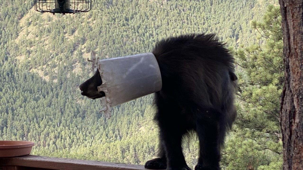В США рейнджеры спасли медвежонка, бродившего с ведром на голове
