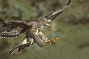 Почти по Хичкоку: англичанку во время пробежки атаковала хищная птица