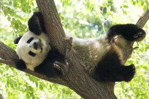 Китай подтвердил, что панды больше не вымирают