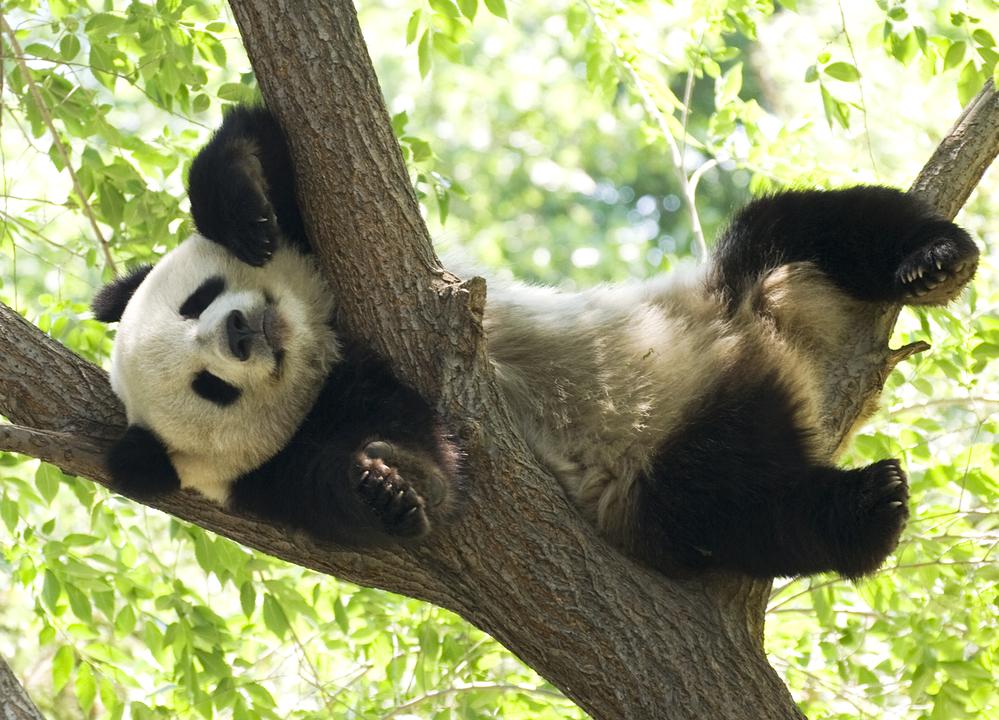 Китай подтвердил, что панды больше не вымирают.Вокруг Света. Украина