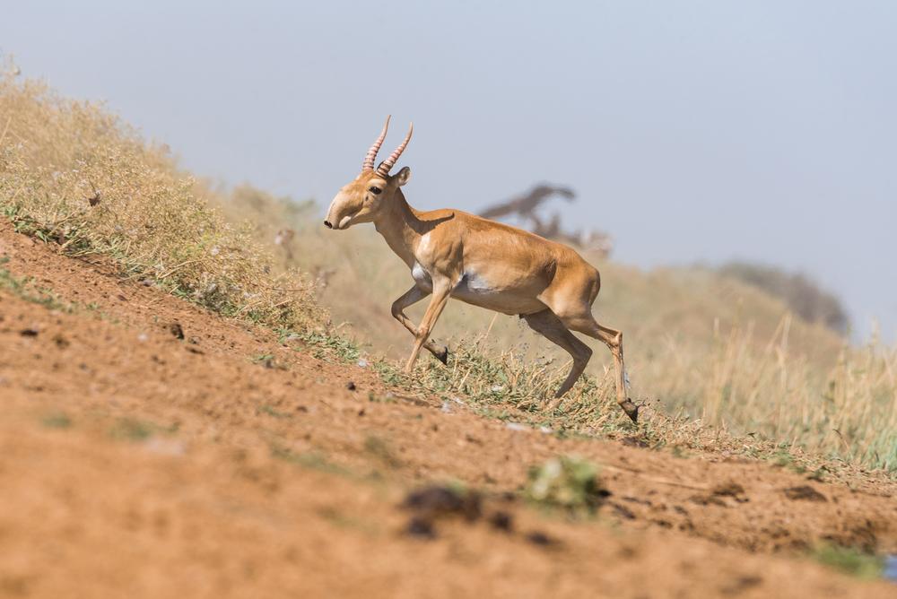 За два года популяция редких антилоп Азии выросла в 2,5 раза.Вокруг Света. Украина