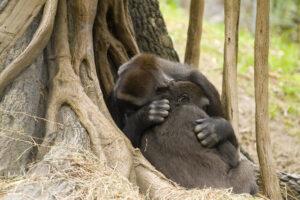 Изменение климата: шимпанзе впервые напали на горилл