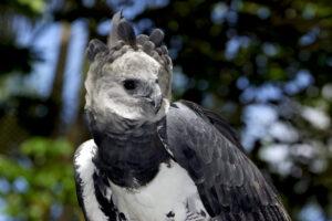 Крупнейший орел Амазонии утратил шансы на выживание после вырубки лесов