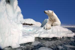 Последнее пристанище белых медведей в Арктике стремительно тает