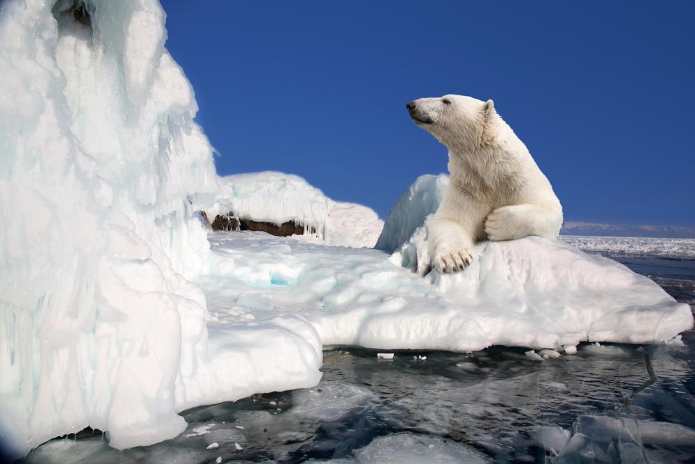 Последнее пристанище белых медведей в Арктике стремительно тает.Вокруг Света. Украина