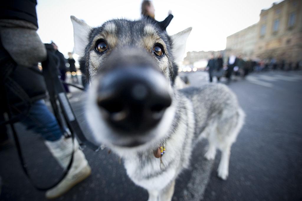 У собак, в отличие от волков, есть врожденное умение понимать человеческие жесты