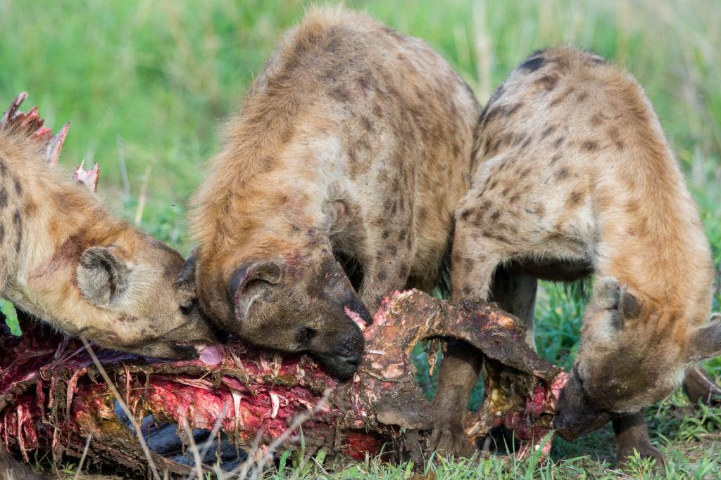 Почти как люди: гиены наследуют высокое положение в стае.Вокруг Света. Украина