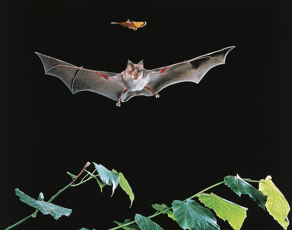 Биологи выяснили, как летучие мыши ориентируются в пространстве