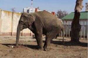 В харьковском зоопарке умерла молодая слониха