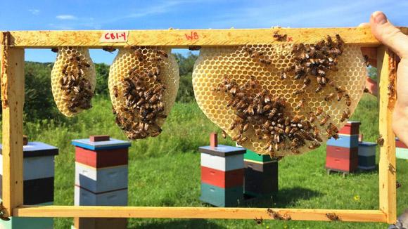 Медоносные пчелы – креативные и находчивые архитекторы: исследование