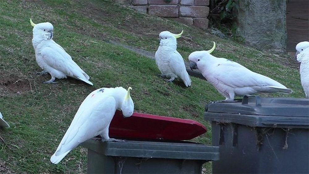 Какаду в Австралии учат друг друга открывать мусорные баки