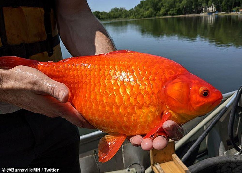 В нескольких озерах США расплодились золотые рыбки размером с футбольный мяч