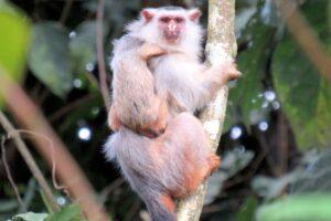 В Бразилии обнаружили новый вид обезьян