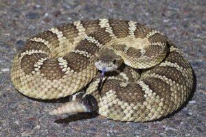 Гремучая змея обманывает врагов с помощью звуковой иллюзии