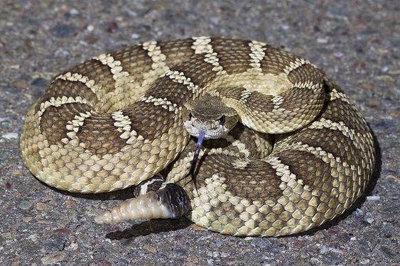 Гремучая змея обманывает врагов с помощью звуковой иллюзии.Вокруг Света. Украина