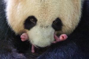 Редкое событие: во французском зоопарке панда родила двойню