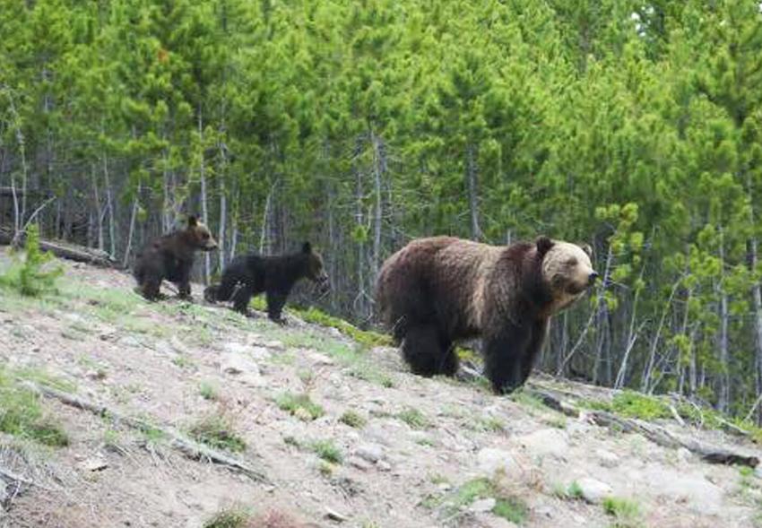 Американку обвинили в нарушении покоя медведицы гризли.Вокруг Света. Украина